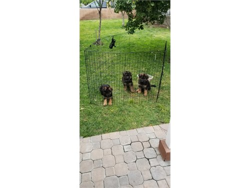 AKC German Shepherd PUPs