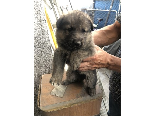 German Shepherd mix puppi