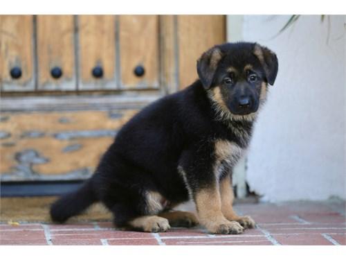 German Shepherd pups.