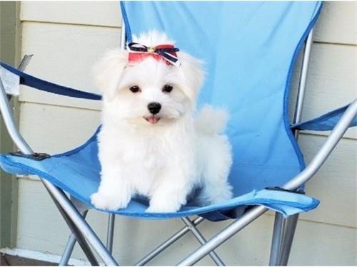 Good Maltese Pups