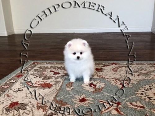 AKC White Pomeranian