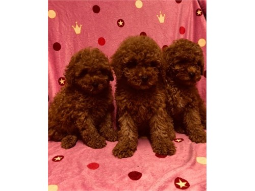Toy Red Poodles