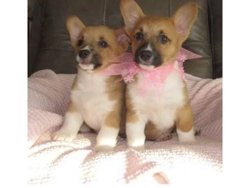 welsh corgi pups for sale