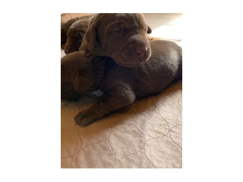 AKC PUPPIES CHOCOLATE LAB