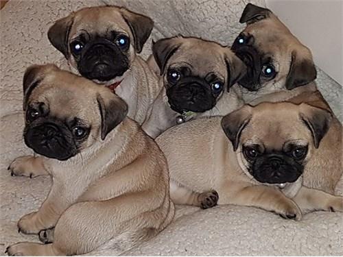7 Clear Fawn Pug Pups
