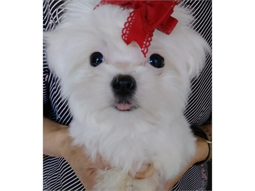 Tcup Maltese Puppies