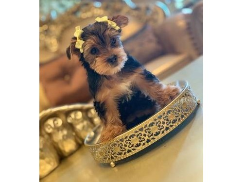 Tcup Yorkie Pup Available