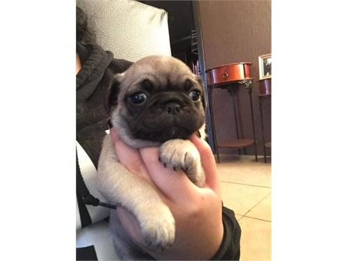 Pug puppie