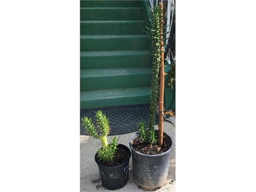 Bright Green Euphorbia