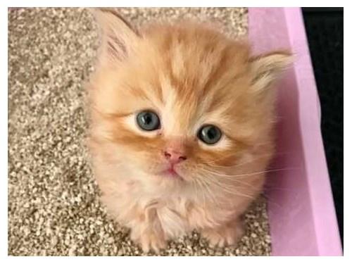 Amazing Persian kittens..