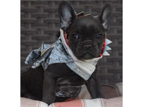 French bulldog puppies