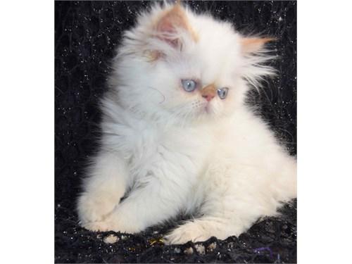 Persian cats for sale augusta ga