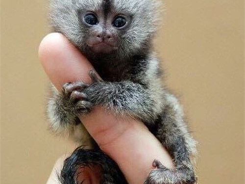 Baby Marmoset Monkeys ver