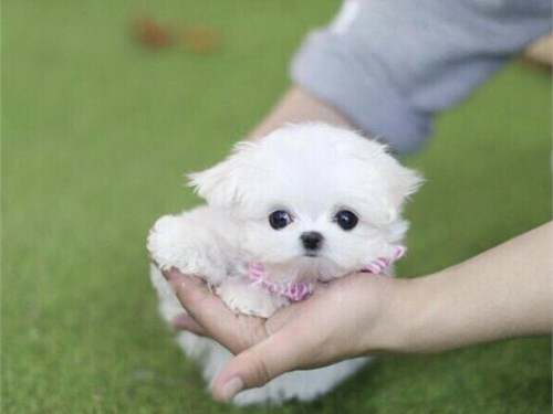 T CUP MALTESE PUPPY