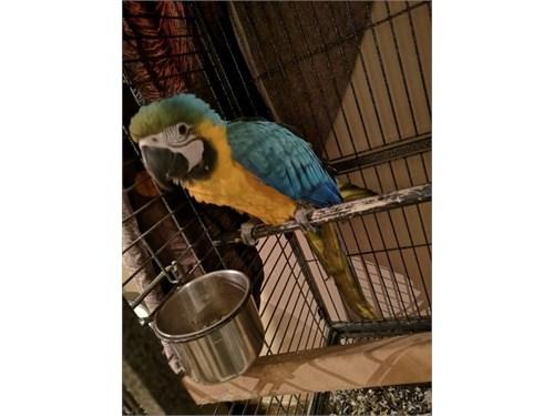 faithful macaw Ready
