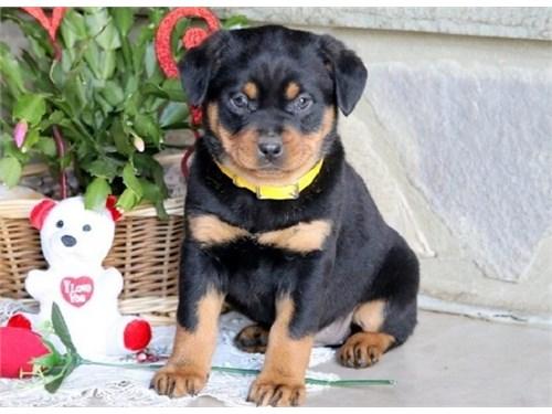 Rocky Rottweiler Pups