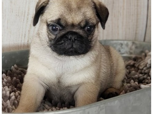 Perfect lovely Pugs
