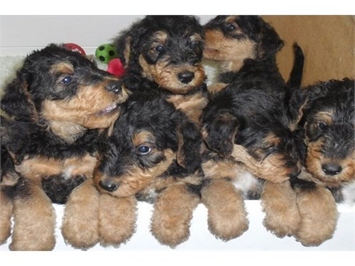Airedale Terrier Puppies.
