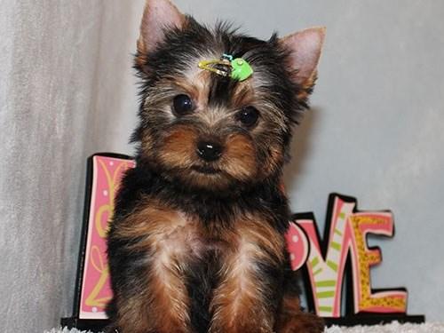 Micro Tiny Yorkie Puppy