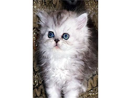 Himalayan Kittens Sale