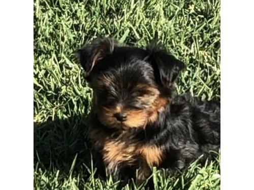 Beautiful AKC reg puppy