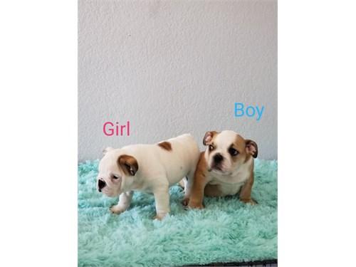 English Bulldog AKC puppy