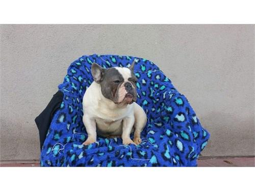 Blue pie french bulldog