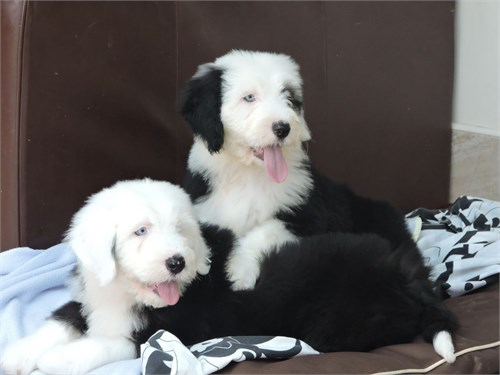 Old English Sheepdog Pups