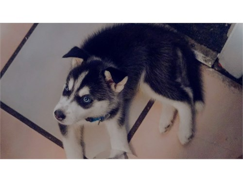 Male Puppy Husky