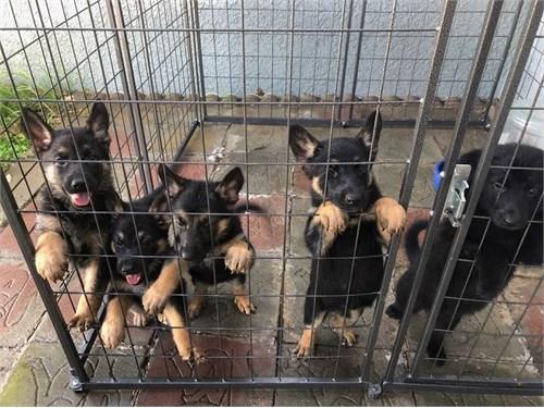 German shepherd puppies..