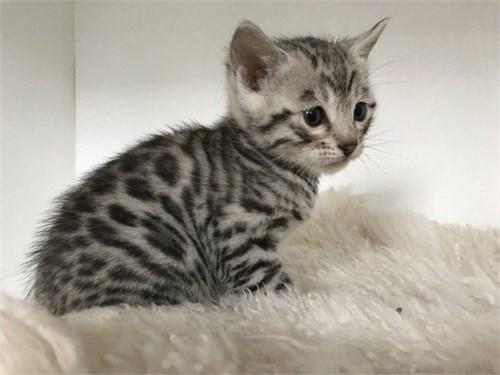 HFCJUV Bengal Kittens