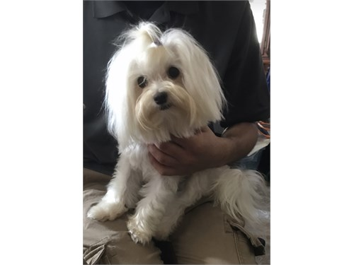 Tcup Female Maltese pup
