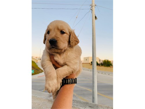 Golden retrievers puppies