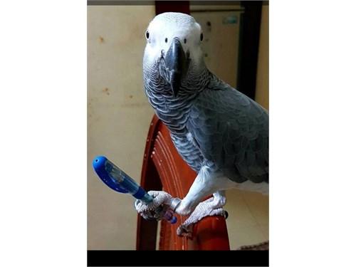 Handfed African Greys