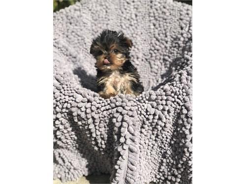 Teacup Yorkie Pup