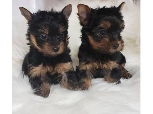 Smart Teacup Yorkie Pups