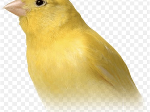 Yellow Canaries