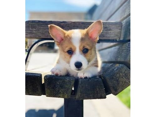 Corgi 9 weeks old