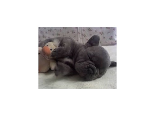 french bulldog to rehome