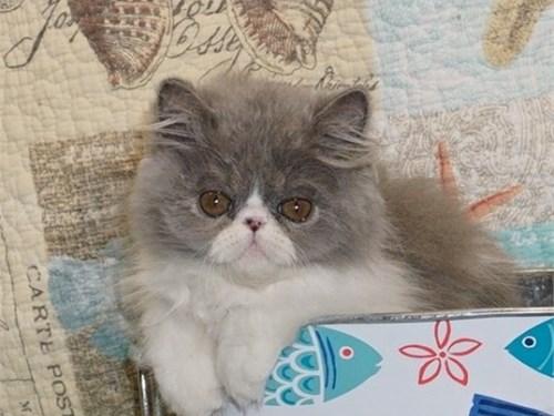 PERSIAN KITTENS 4 SUMMER!