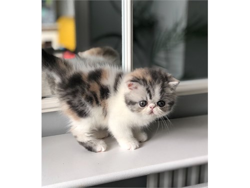 Exotic Shorthair Kittens#