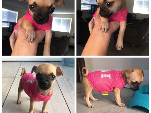 Pug Mixed With Chihuahua