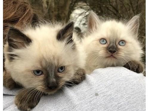 Ragdoll Kittens ready