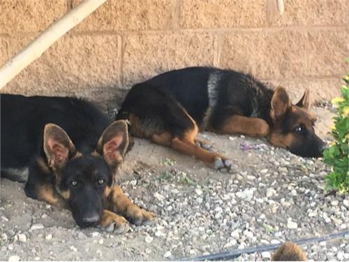 GSD Puppies Females