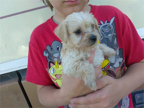 Havanese mix pups