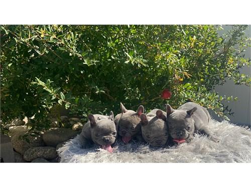 Full akc French bulldogs
