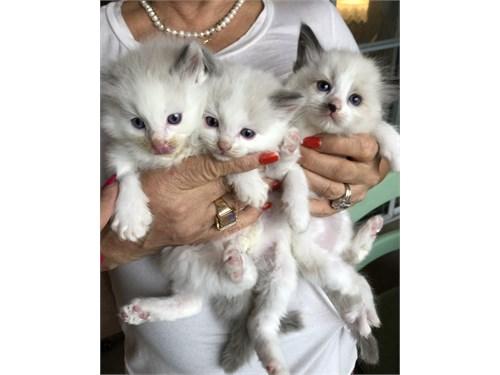 Ragdoll TICA Kittens
