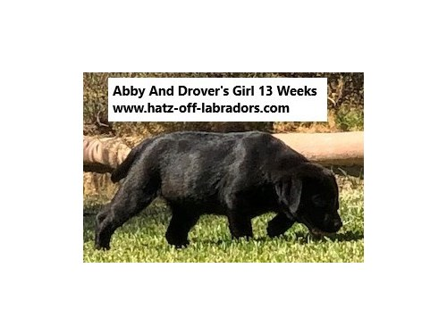 AKC English Lab Puppies | Pets | Norco CA | recycler com