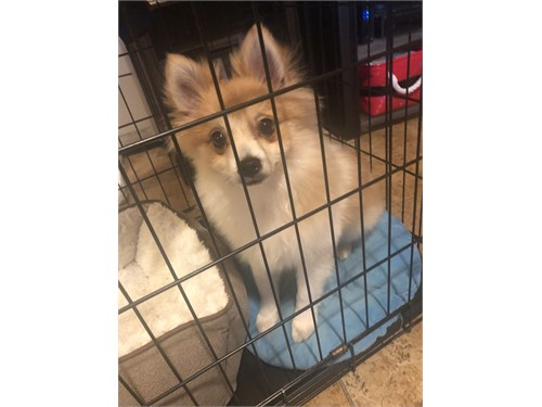 5 month old Pomeranian