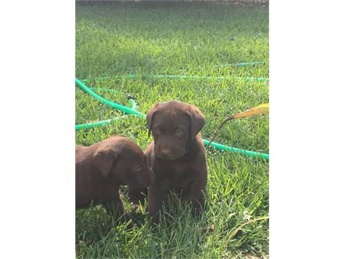 Akc Labrador puppies
